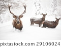 red deers in snow 29106024