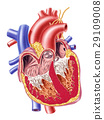 Human heart cross section. 29109008