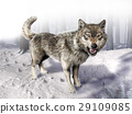 Wolf growling standing on snow. 29109085