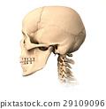 解剖的 骨头 颅骨 29109096