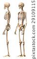Male Human skeleton, two views, side and perspective. 29109115