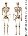 Male Human skeleton, two views, front and back. 29109123