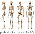 Male Human skeleton, four views, front, back,side and perspective. 29109127