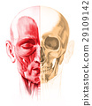 Frontal view of male human head, with half muscles and half skull. On white background. Anatomy image, hand painted style. 29109142