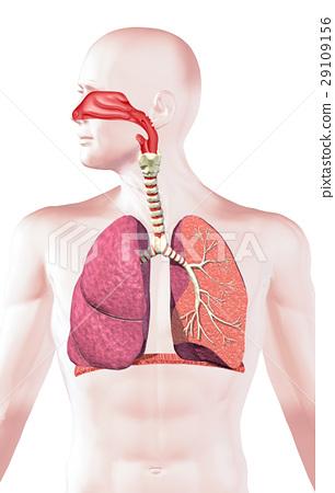 Human Respiratory System Cross Section Stock Illustration