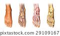 Human foot anatomy cutaway representation. 29109167