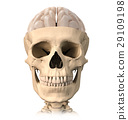 Human skull cutaway, with half brain shown on top, front view. 29109198