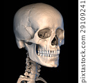 Human skull close-up. Perspective view. 29109241