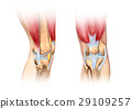 Human knee cutaway illustration. Anatomy image. 29109257