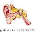 Human ear cutaway diagram. 29109272