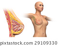 Woman breast cutaway diagram. 29109330