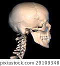 Human skull, side view. 29109348