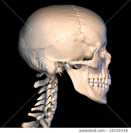 Human skull, side view. 29109348
