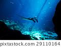 Manta ray in the deep blue ocean 29110164