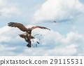 Harris Hawk 29115531