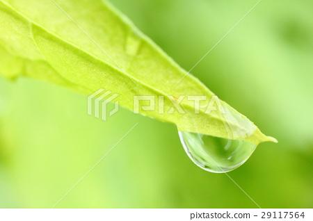 水滴附着在苦瓜的叶子上 29117564