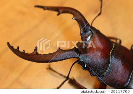 锹形虫 锄头形头盔 锯齿状的鹿角甲虫 29117709