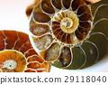 亚扪人化石标本 29118040