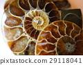 亚扪人化石标本 29118041
