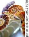 亚扪人化石标本 29118046