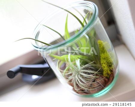 空气植物的玻璃容器放在窗口 29118145