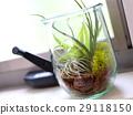 空中植物 植物 植物學 29118150