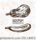 Digital vector detailed squash hand drawn 29118953