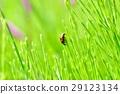 녹색 가운데 무당 벌레 29123134