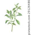 stevia, rebaudiana, stevium 29126486