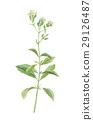 stevia, rebaudiana, stevium 29126487