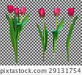 Realistic Vector Illustration Colorful Tulips 29131754