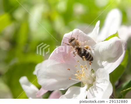 Bee collects nectar and pollen on white cherry 29132880