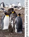 King Penguin 29133661