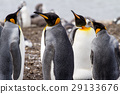 King Penguin 29133676