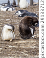 Gentoo Penguin Colony 29133712