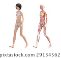 肌肉 肌肉发达 比较 29134562