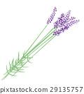 熏衣草 薰衣草 花朵 29135757