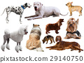 dog breed isolated 29140750