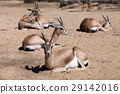 Few Saharian Dorcas Gazelles on sand 29142016