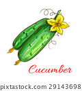 Vector isolated cucumbers sketch icon 29143698