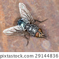 House fly close up 29144836