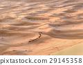 Caravan of Camels in Sand dunes. Merzouga, Morocco 29145358