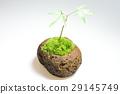 이끼 구슬 식목 단풍 29145749
