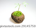 이끼 구슬 식목 단풍 29145750