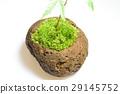 이끼 구슬 식목 단풍 29145752