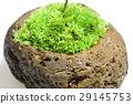 이끼 구슬 식목 단풍 29145753