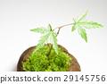 이끼 구슬 식목 단풍 29145756