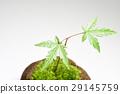 이끼 구슬 식목 단풍 29145759