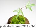 이끼 구슬 식목 단풍 29145761