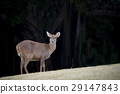 wilderness deer in natural wild life  field 29147843